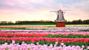 тюльпаны – символ Голландии